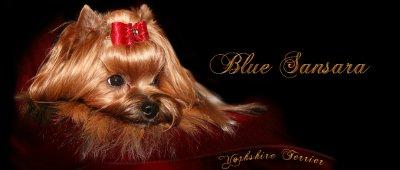 Blue Sansara - Hodowla Yorkshire terrier